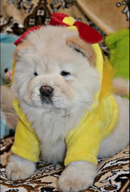 10 Best Chow Chow Dog Names Dog Names Chow Chow Dogs Baby Animals