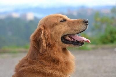 Discover The Friendly Golden Retriever Puppy Exercise Needs