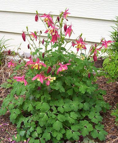 Columbine edible and medicinal flowers Very pretty Survival
