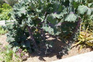 Flower Sprouts Ernten Anbauen Pflegen Plantura Pflanzen Garten Gartenboden