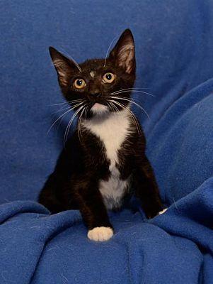 Sanford Fl Domestic Shorthair Meet Alfalfa Bonded With Doug A Cat For Adoption Cat Adoption Kitten Adoption Puppy Adoption