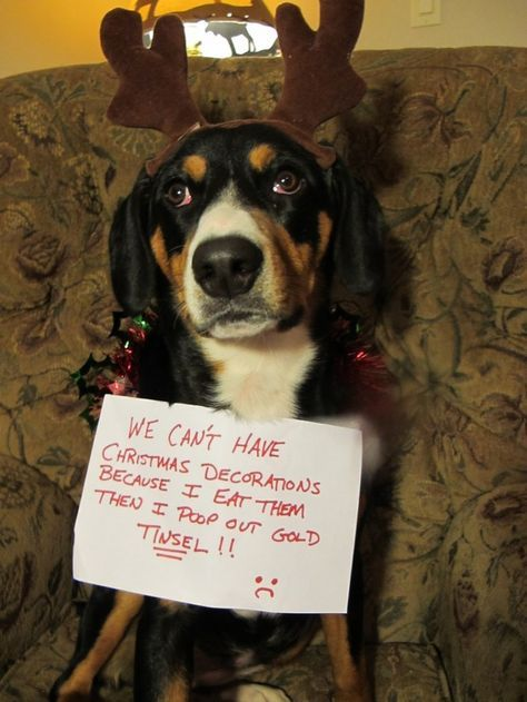 32 Doh Dogs That Ruined The Holidays Dog Shaming Cat Shaming