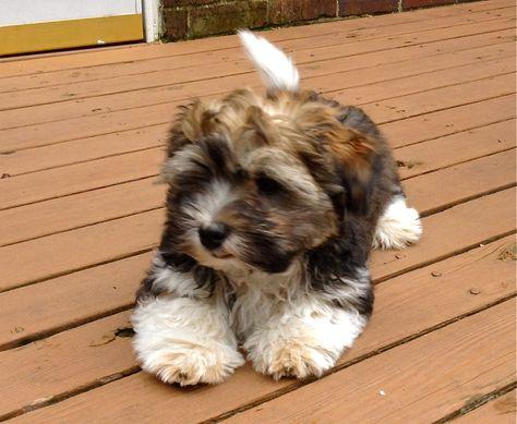 Havanese Full Grown Havanese Dog Full Grown As A Grown Up Perfect
