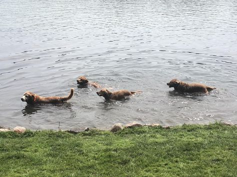 Four Goldens Living Their Best Life In Northern Michigan Dog Pictures Life Is Good I Love Dogs