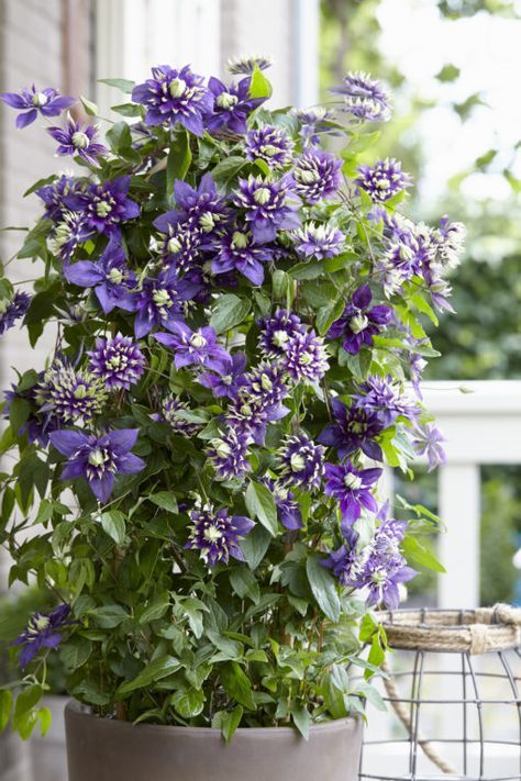 Taiga Clematis Shop New Vines With Plantsbymail Com