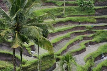 Terbaru 30 Lukisan Pemandangan Sawah Bali Tegalalang Lukisan Alam Di Ubud Kompasiana Com Download Lukisan Pasar Bali Hitam Putih Lukisanpemandangan C In 2020 Plants