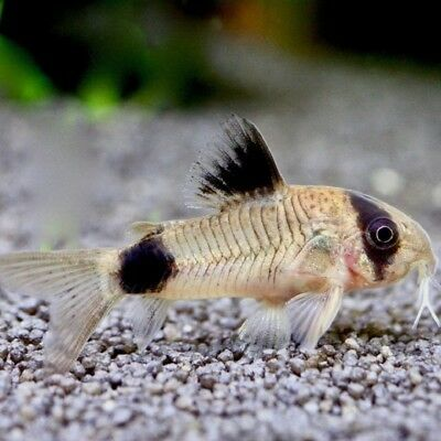 Panda Corydoras Catfish Live Tropical Freshwater Aquarium Fish For Sale Tropical Fish Aquarium Cory Catfish Aquarium Fish For Sale