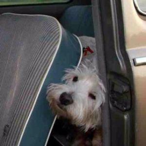 Westie By Cheryl Dingwell 5 Westies Westie Terrier Crazy Dog Lady