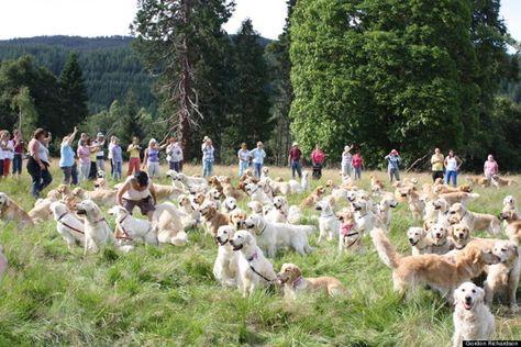 222 Golden Retrievers Gather At Adorable Scotland Festival Dogs