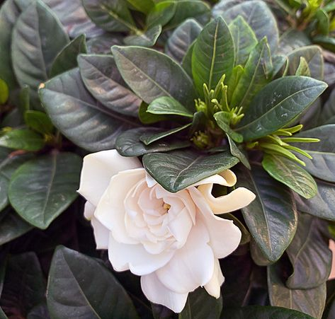 Fragrant Plant For A Winter Lift Fragrant Plant Plants Country Gardening