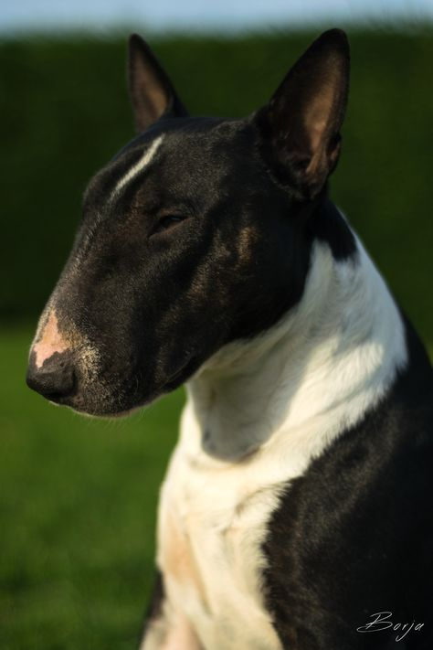 English Bull Terrier Bull Terrier Pitbull Terrier Mini Bull