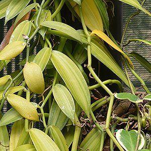 Growing Vanilla Bean Plants Vanilla Planifolia Orchid Plants