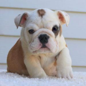 Bulldog Calm Courageous And Friendly English Bulldog Puppies