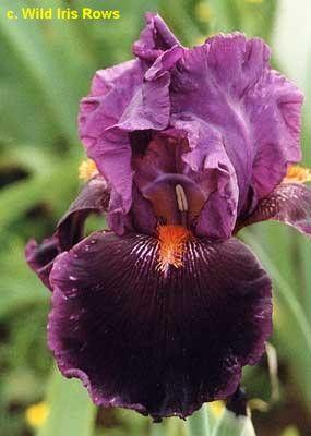 Http Wiki Irises Org Tbkthruo Tbnightfever Iris Garden Iris