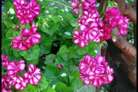 Pelargonie Angielskie Bluszczolistne I Zwisajace Najciekawsze Odmiany Plants