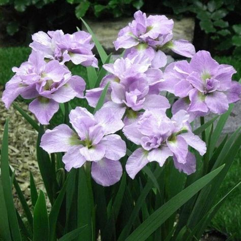 Double Siberian Iris Bloom Early and mid-spring// Summer Courtyard Bonsai Decor