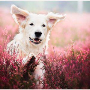 Dog Face In Flower Field Wallpaper Golden Retriever Cute Little