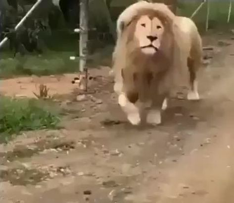 Diffrent kind of lion. Not for faint hearted - 9GAG
