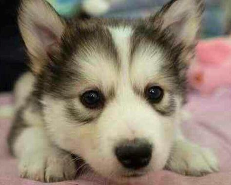 Corgi Husky Mix Cute Dogs Baby Dogs Animals Beautiful