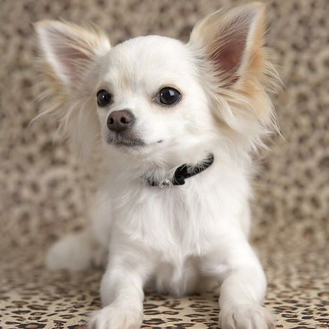 Chihuahua Breedoftheweek Easy To Train Easy To Train Dogs Are