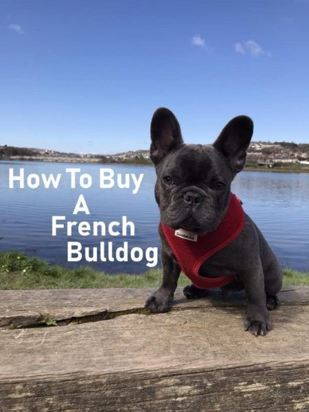 How To Buy A French Bulldog Pet Facts French Bulldog Puppies