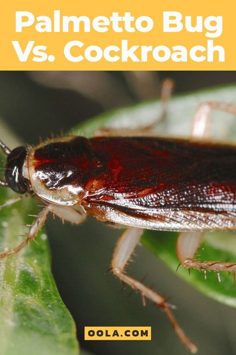 Palmetto Bug Vs Cockroach How To Get Rid Of This Southern Pest