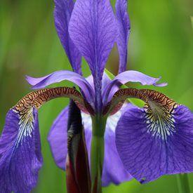 Purple Iris Iris Flowers Garden Purple Iris Flowers Growing Irises