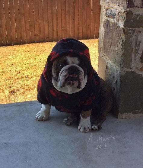 All The Things We All Like About The Dignified Bulldog
