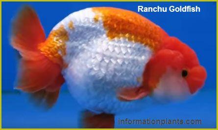 جولدفيش رانتشو الياباني Ranchu Goldfish سمك زينة انواع الاسماك معلومان عامه معلوماتية نبات حيوان اسماك فوائد Fish Pet Goldfish Animals