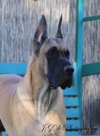 Great Dane Stud Dogs Jgd Cupid Of Hearts Cooper With Images