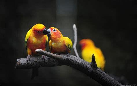 Wallpaper Hd Lovebird In 2020 Bird Wallpaper Bird Photo Parrot Wallpaper