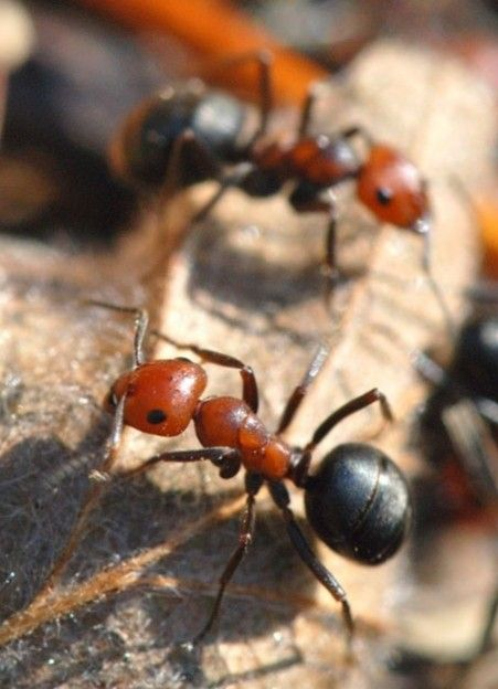 Pin By Eddy Sutanto On Animal World Ants Insects Types Of Bugs