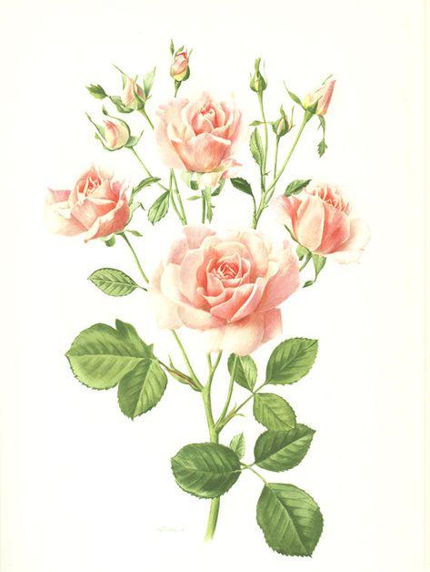 Pink Rose Art 1962 Vintage Botanical Art Hymn Rose Flower Pink