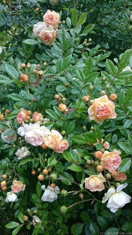 'Ghislaine de Féligonde' Rose Photo