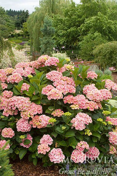 A Compact Growing Shrub With Sensational Deep Pink Flowers Each