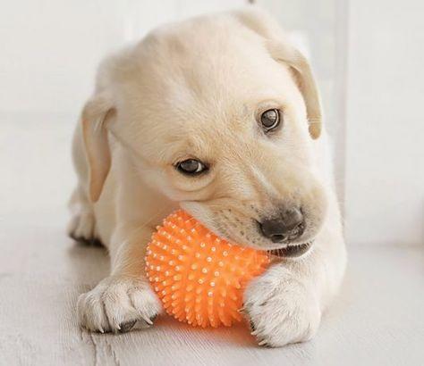 Best Chew Toys For Puppies Mastiff Puppies Labrador Retriever Puppy Breeds