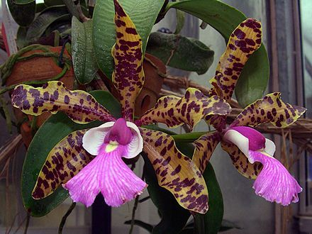 Cattleya aclandiae is found growing on tree limbs and trunks