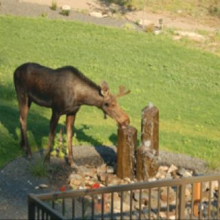 e2180ccb42f26b9061fde00de6528b11 spirit animal moose a harness moose?!! horses and harness racing pinterest moose Biggest Moose in Maine at edmiracle.co