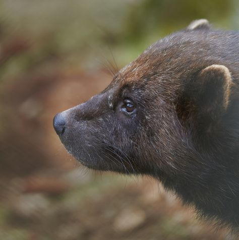 The wolverine's sense of smell is uncanny—it can detect a carcass lying 20 feet under the snow, allowing it to find the remains of animals killed in avalanches.