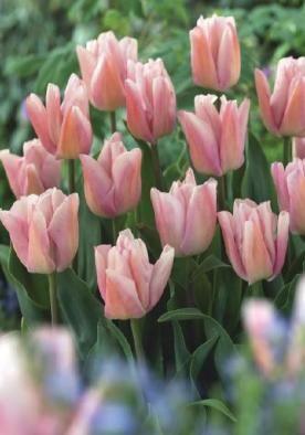 Rejoice Bulbs Tulips Bulbs Rejoice Buy Tulips Flower Bulbs Online Bulb Flowers Tulip Bulbs Tulips