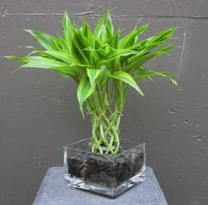 Lucky Bamboo Plant Saw Them At Home Depot Need To Go Back And