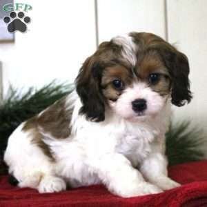 Hope Cavachon Puppy For Sale In Pennsylvania Cavachon Puppies Cavachon Puppies For Sale