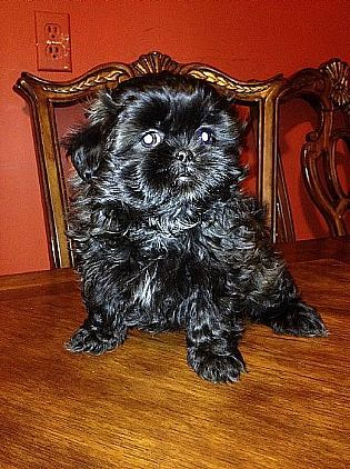 Shih Tzu Puppies Pet Dog Puppies For Sale In Ny Want Ad Digest