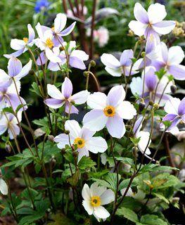Growing Anemone Flowers Garden Design In 2020 Flower Garden Design Anemone Flower Flower Garden
