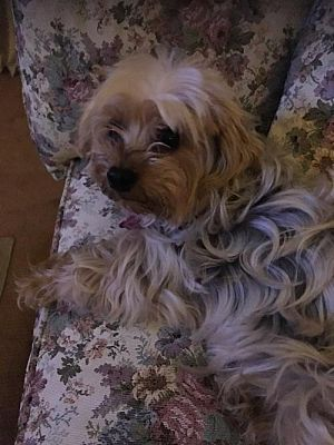 N Babylon Ny Yorkie Yorkshire Terrier Meet Fiona A Pet For