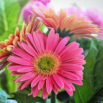 Gerbera African Daisy Seed In 2020 Bee Friendly Flowers Australian Plants Small Plants