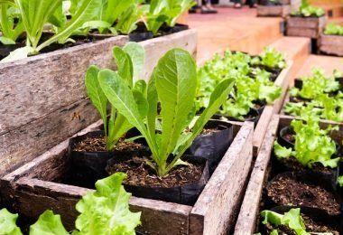 Cómo Extraer Aceite De Las Hojas De Menta En 2020 Como Cultivar Uvas Cultivar Cultivo De Plantas