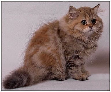 List of british shorthair blue tabby cats images and british