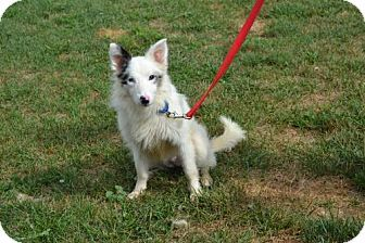 Australian Shepherd Mix Dog For Adoption In Akron Ohio Cookies Older Puppy Dog Adoption Kitten Adoption Pets