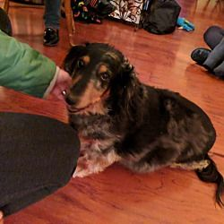 Jamestown Mi Dachshund Meet Koko A Pet For Adoption